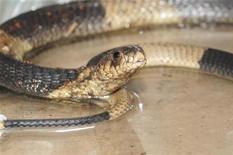 <p>Египетская кобра из Бронкского зоопарка в Нью-Йорке, 31 марта 2011 года. Кобра, пропавшая из Бронкского зоопарка в Нью-Йорке и прославившаяся тем, что завела аккаунт в сети Twitter, нашлась. REUTERS/Bronx Zoo/Handout</p>