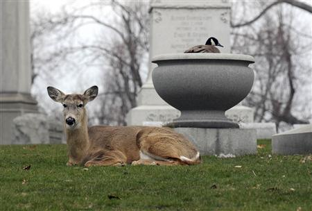 A Canada goose nests in an urn as a deer keeps a watchful eye at Forest Lawn cemetery in Buffalo, New York April 8, 2011. For at least four days, the buck stood guard near the nest of the goose as she sits on her eggs inside a large urn at the cemetery, home to the remains of President Millard Fillmore and rock icon Rick James. REUTERS/Doug Benz