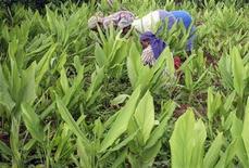 """<p>Foto de archivo de un grupo de recolectoras de azafrán en Hunsur, India, jul 31 2008. Los expertos señalan que tanto si uno planta lilas como si opta por las berenjenas o las rosas, cuando se trata de estar en forma """"cosecharás lo que siembras"""", al cavar, abonar y podar. REUTERS/Rajendra Jadhav (INDIA)</p>"""