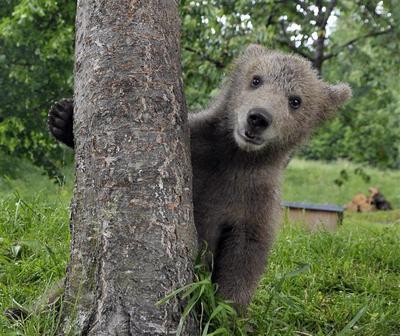 Backyard baby bear