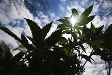 <p>A marijuana plant is seen at the The Global Marijuana March in Toronto, May 7, 2011. REUTERS/Mark Blinch</p>