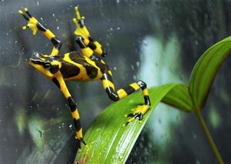 A Harlequin frog is seen at the El Nispero Zoo in El Valle town, Panama April 16, 2009. REUTERS/Alberto Lowe