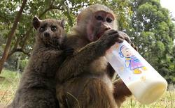 <p>A seven-months-old yellow baboon (Papio cynocephalus) drinks milk as it plays with a Galagos (L) also known as a bushbaby at the Animal Orphanage in the Kenya Wildlife Service (KWS) headquarters in Nairobi, June 10, 2011. Defying nature, the Yellow Baboon, rescued in Maralal (northern Kenya) has quickly adopted a Galagos, rescued in Nyeri (central Kenya), after meeting at the orphanage giving it affection and protection as if it were her own offspring. Yellow baboons inhabits savannas and light forests in the eastern Africa while Galagos are small, nocturnal primates native to continental Africa. REUTERS/Thomas Mukoya</p>