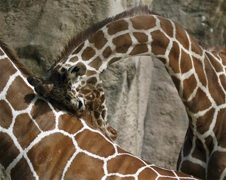 A giraffe rubs its head on the mane of another giraffe at the Philadelphia Zoo, Pennsylvania October 6, 2007. REUTERS/Mary Schwalm