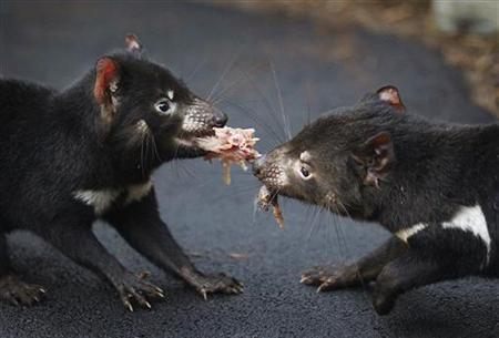 A pair of Tasmanian Devils tussles for a piece of rabbit in a new breeding centre at Sydney's Taronga Zoo June 30, 2010. REUTERS/Tim Wimborne