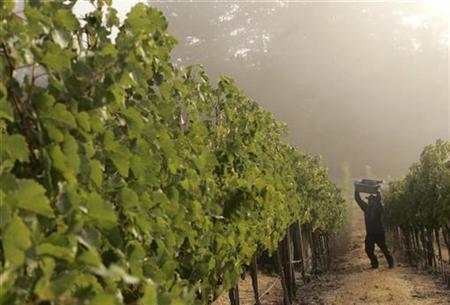 A worker carries a container while picking grapes at sunrise at a vineyard in Napa Valley, September 12, 2008. REUTERS/Robert Galbraith