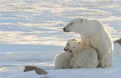 Самка белого медведя с двумя детенышами близ Черчилля (Канада), 9 февраля 2011 года. Ученые обнаружили, что предком полярных медведей по материнской линии является бурый медведь, живший на территории современных Великобритании и Ирландии во время последнего ледникового периода от 20.000 до 50.000 лет назад. REUTERS/Geoff York/World Wildlife Fund/Handout