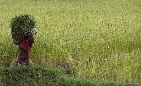 A woman works at a paddy field near Pelling in  Sikkim October 12, 2009. The new environment minister is likely to be more flexible towards industry to help power Asia's third-largest economy, although a complete turnaround in tighter enforcement of green policies pursued by her maverick predecessor is ruled out.  REUTERS/Tim Chong/Files