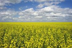 <p>A canola crop used for making cooking oil sits in full bloom on the Canadian prairies near Fort Macleod, Alberta, July 11, 2011. REUTERS/Todd Korol</p>