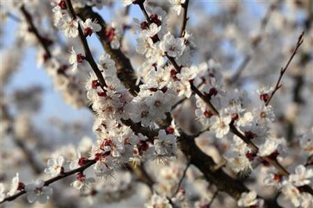 Blossomed apricot trees are seen in an orchard in Nicolae Balcescu village, 248 km (152 miles) west of Bucharest, April 9, 2010. REUTERS/Radu Sigheti