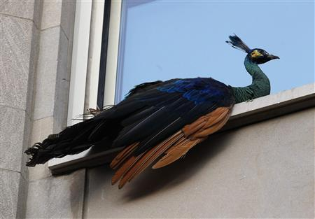 A peacock that escaped from New York City's Central Park Zoo sits perched on a fifth floor window sill at 833 Fifth Avenue at 65th street in New York August 2, 2011. REUTERS/Mike Segar