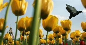Голубь пролетает над клумбой с цветами в Москве, 19 мая 2007 года.  Наступающие выходные в Москве будет теплыми и солнечными, ожидают синоптики. REUTERS/Denis Sinyakov