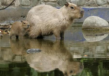 A capybaras (Hydrochoerus hydrochaeris), born in captivity 15 days ago, follows its mother at the Santa Fe Zoo in Medellin March 8, 2010. REUTERS/Albeiro Lopera
