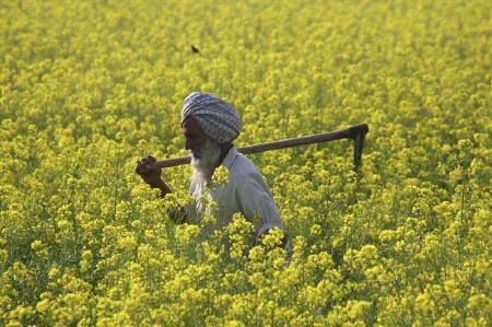 A farmer walks through a mustard field at Ghaduwan village in Punjab December 16, 2009. REUTERS/Ajay Verma/Files