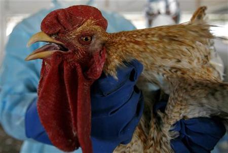 A health worker culls a rooster at a government-state-run poultry farm in Gandhigram village, about 35 km (22 miles) west of Agartala, capital of India's northeastern state of Tripura, March 7, 2011. REUTERS/Stringer