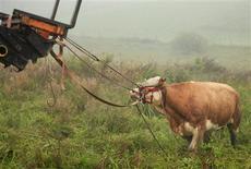 <p>Au terme de trois mois de fugue, Yvonne, paisible vache bavaroise, a été retrouvée vendredi en Allemagne. Elle était devenue une star des médias outre-Rhin où sa traque a mobilisé des hélicoptères équipés d'infrarouge. Elle a été capturée dans un champ non sans difficulté, après moult ruades et grâce à une piqûre de tranquillisants. /Photo prise le 2 septembre 2011/REUTERS/Gut Aiderbichl/Benno Seilersdorfer</p>