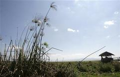A papyrus plant is pictured in Lake Naivasha, the only fresh water ecosystem in the eastern Rift Valley, June 4, 2009. REUTERS/Thomas Mukoya