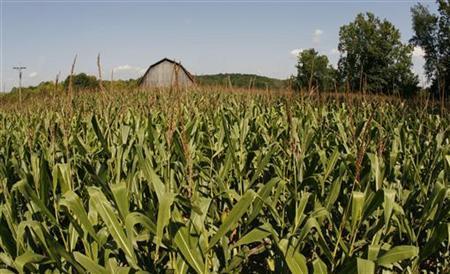 Large fields of corn growing in fields in Otisco, Indiana, August 25, 2009. REUTERS/John Sommers II