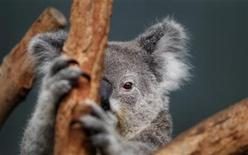 <p>A Koala named 'Elle' sits in her enclosure at Wildlife World in Sydney June 28, 2011. REUTERS/Tim Wimborne</p>