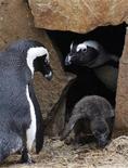 Африканские пингвины в парке близ Лозанны, 16 октября 2010 года. Пингвины могут по запаху найти себе товарищей и спутников на всю жизнь, что позволяет им воссоединиться даже в толпе, а также определяют запах близких родственников во избежание инбридинга, сообщили ученые в среду. REUTERS/Denis Balibouse