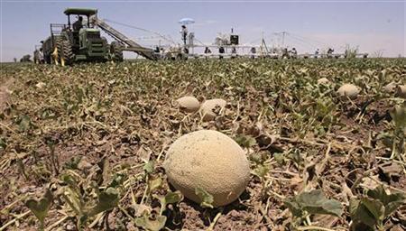 Farm workers harvest cantaloupe in Somerton, Arizona, June 7, 2006. REUTERS/STR New