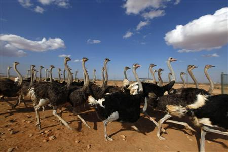Ostriches from deposed Libyan leader Muammar Gaddafi's private menagerie are seen at Wadi Bai, October 4, 2011. They are among more than 1,000 animals, including camels, sheep, cattle and goats, abandoned there after rebels deposed Gaddafi. REUTERS/Anis Mili