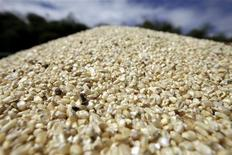 Fresh corn kernels are seen at government-owned farm in a file photo. REUTERS/Jorge Silva