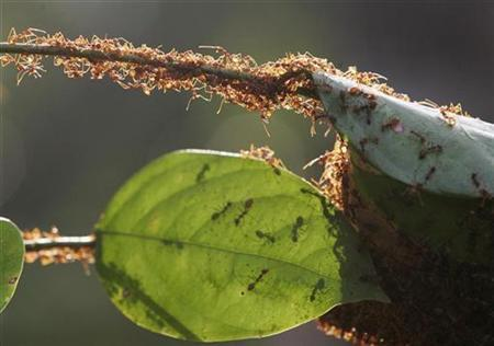 A colony of weaver ants build their nest from leaves in Kuala Lumpur January 31, 2009. REUTERS/Zainal Abd Halim