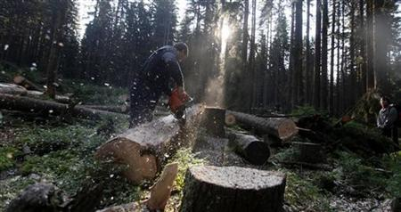 An environmental activist watches a lumberjack saw a tree in Sumava National Park near the village of Modrava July 27, 2011. REUTERS/Petr Josek