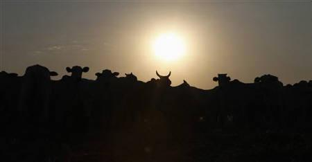 Cattle is silhouetted at feedlot at Santa Maria da Amazonia farm in Sorriso, in the central Brazilian state of Mato Grosso September 7, 2011. REUTERS/Paulo Whitaker/Files