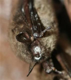 A hibernating brown bat with a white muzzle typical of white-nose syndrome is seen in this undated handout photograph released on March 31, 2011. REUTERS/U.S. Geological Survey/Greg Turner/Handout