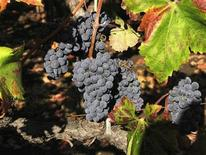 <p>Zinfandel grapes grow in a Napa Valley, California vineyard that supplies grapes to Frank Family Vineyards October 8, 2011. REUTERS/Lisa Baertlein</p>