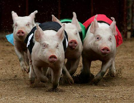 Piglets run on a dirt track during a pig race at Sydney's Royal Easter Show in this March 18, 2005 file photo. Australian pig farmers can earn tradeable credits for capturing methane from manure, the government said on Thursday under the first rules to be approved for use in a national offset programme.   REUTERS/Tim Wimborne/Files