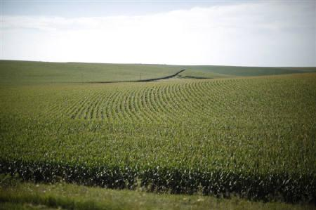 A field of corn is shown from the motorcade carrying U.S. President Barack Obama in between stops near Monona, Iowa, August 16, 2011. REUTERS/Jason Reed/Files