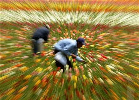Workers are blurred by the movement of a camera zoom lens as they pick Ranunculus flowers in Carlsbad, California April 25, 2005. The Ranunculus flowers are grown in a 50-acre field mostly to harvest the bulbs, about three million of the flowers are picked for sale each year. REUTERS/Mike Blake