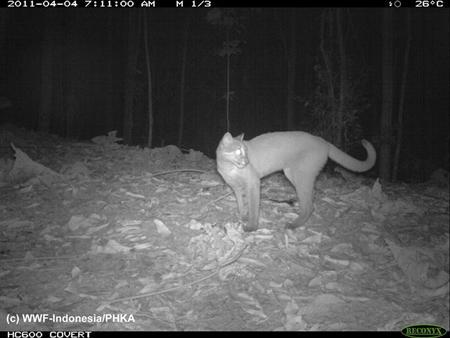 A Golden Cat (Catopuma Temmincki) is captured using camera traps in Bukit Tigapuluh, on the Indonesian island of Sumatra in this April 4, 2011 handout photo released on November 16, 2011. REUTERS/WWF Indonesia/PHKA/Handout