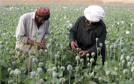 Afghan farmers work on a poppy field in the Grishk district of Helmand province in this April 18, 2009 file photo. Once known as the bread basket of Afghanistan, the lush green irrigated fields of Helmand are the world's single largest source of opium.   REUTERS/Abdul Qodus/Files