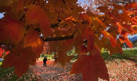 A man walks in Stanley Park under the changing leaves of autumn in Vancouver, British Columbia November 10, 2011.   REUTERS/Andy Clark/Files