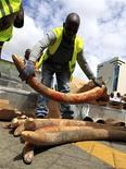 A Kenyan customs worker arranges a shipment of elephant tusks intercepted at the Jomo Kenyatta international airport in Nairobi May 6, 2011. REUTERS/Thomas Mukoya