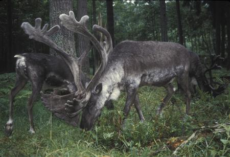 Woodland caribou in the Selkirk mountain range of British Columbia, Canada, in an undated photo. REUTERS/U.S. Fish and Wildlife Service