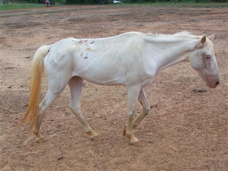 This undated handout image, obtained by Reuters on December 3, 2011, shows an abandoned, malnourished horse in Texas at the Safe Equine Rescue in Gilmer, Texas.  REUTERS/Debbie Fincher-Safe Haven Equine Rescue/Handout