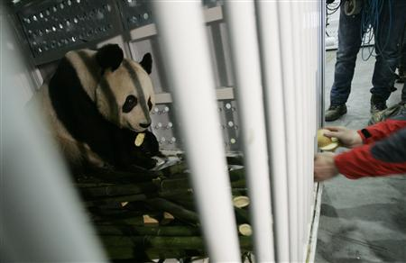 A staff feeds giant panda Yang Guang with apples before being loaded into the plane at Chengdu Shuangliu International Airport, Sichuan province December 4, 2011. The two giant pandas, Tian Tian and Yang Guang, will be loaned to a zoo in Britain for ten years, and expected to arrive in Edinburgh on December 4. REUTERS/Stringer