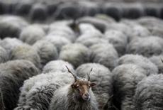 """Стадо овец на выпасе в 200 километрах к востоку от Будапешта, 26 ноября 2011 года. Премьер и кандидат в президенты России Владимир Путин в прямом эфире сравнил белые ленточки - символ масштабных уличных протестов в столицах - с """"контрацептивами"""" и вслед за твиттером своего младшего партнера Дмитрия Медведева назвал противников власти """"баранами"""", чем вызвал бурю возмущений и оскорблений в свой адрес в социальных сетях. REUTERS/Bernadett Szabo"""