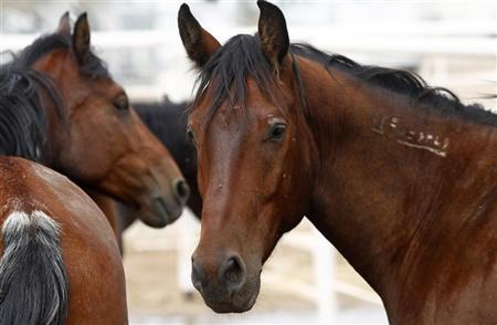 Mustang horses are pictured at the horse patrol training facility in Willcox, Arizona August 19, 2011.  REUTERS/Joshua Lott
