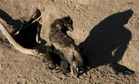 A gray wolf and its nursing pups are pictured in Yellowstone National Park in this undated photograph obtained on May 4, 2011. REUTERS/National Park Service/Handout