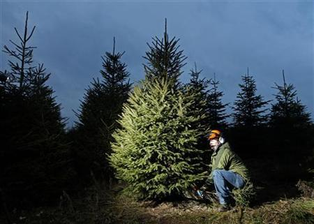 A Christmas tree grower fells a tree at Little Down Farm at Westfield near Hastings in southern England, December 15, 2010.   REUTERS/Luke MacGregor