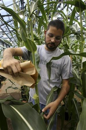 Monsanto Corn Plant Specialist Nick Bosso pollinates a corn stalk in the corn greenhouse at the Monsanto Research facility in Chesterfield, Missouri October 9, 2009.   REUTERS/Peter Newcomb
