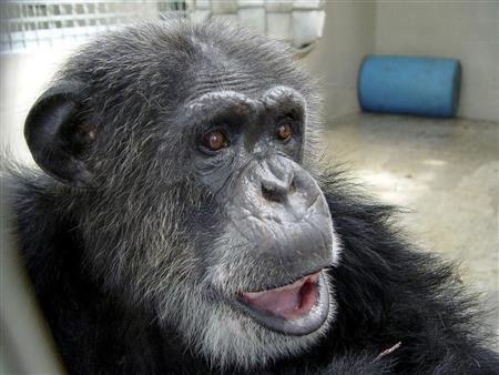 The chimpanzee named ''Cheetah,'' who was featured in the 1930s ''Tarzan'' films starring Johnny Weissmuller, is shown in this publicity photo released to Reuters December 28, 2011. Cheetah the Chimp,one of the world's oldest chimpanzees, has died in Florida. He was thought to be about 80 years old. The Suncoast Primate Sanctuary Foundation in Florida, where Cheetah spent his retirement days, said the chimp died on December 24 from kidney failure. REUTERS/The Suncoast Primate Sanctuary Foundation/Handout