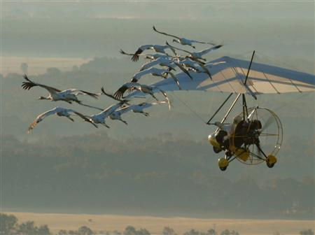 A flock of whooping cranes is guided by an ultra-light operated by an Operation Migration pilot as they make their way across Kentucky, on their way from Wisconsin to Florida, in this handout picture taken in 2008 and released to Reuters January 7, 2012. A flock of rare whooping cranes on its inaugural winter migration to Florida are grounded in Alabama while a U.S. government agency decides whether a plane guiding them will be allowed to proceed.   REUTERS/Joseph Duff/Operation Migration/Handout