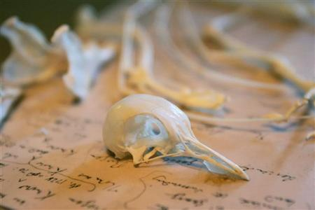 Pigeon bones are displayed in Charles Darwin's former home Down House, Kent, southern England February 12, 2009. REUTERS/Tal Cohen